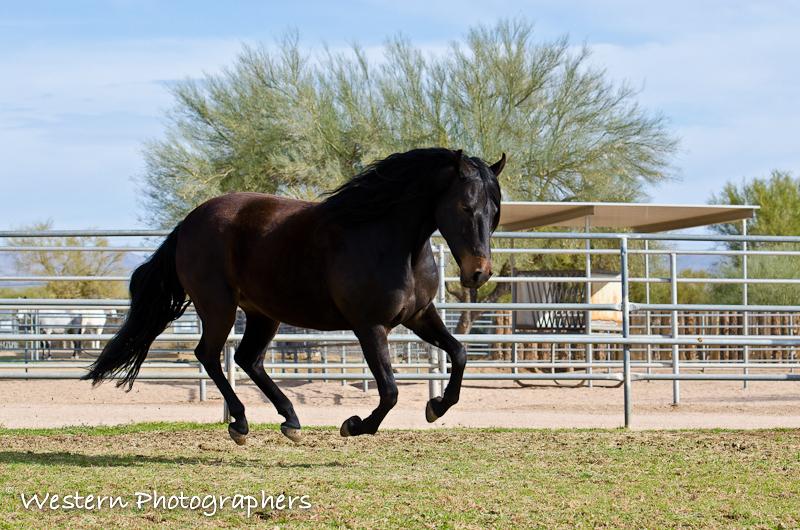 Summerwind_Marchador_horse_17