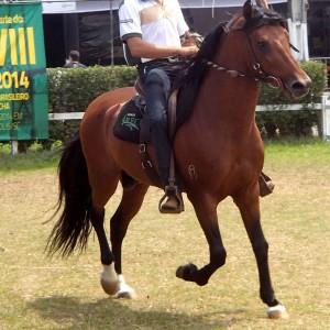 Luxo de Mairi, a marcha picada stallion, son of Emblema EAO, pure Favacho blood.