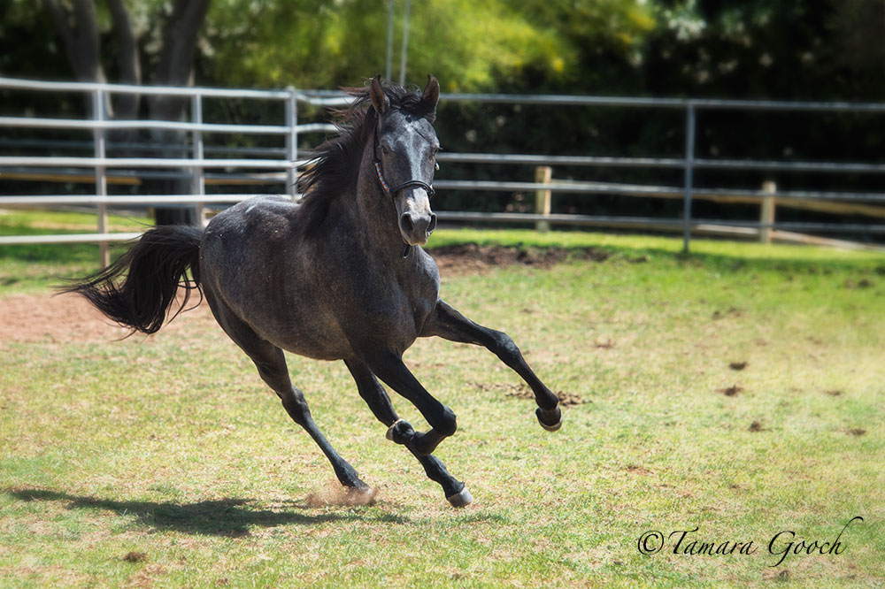 Photo shoot! Yearling colt Hawke do Summerwind. Tamara Gooch
