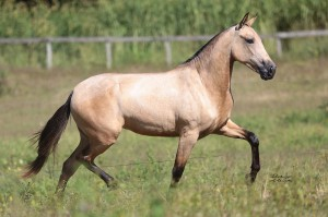 Competing in the ABCCMM Nacional Show, our condominium filly in Brazil Cachaca de Tres Coracoes